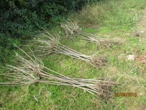 Voľnokorenné sadenice stromkovej ríbezle